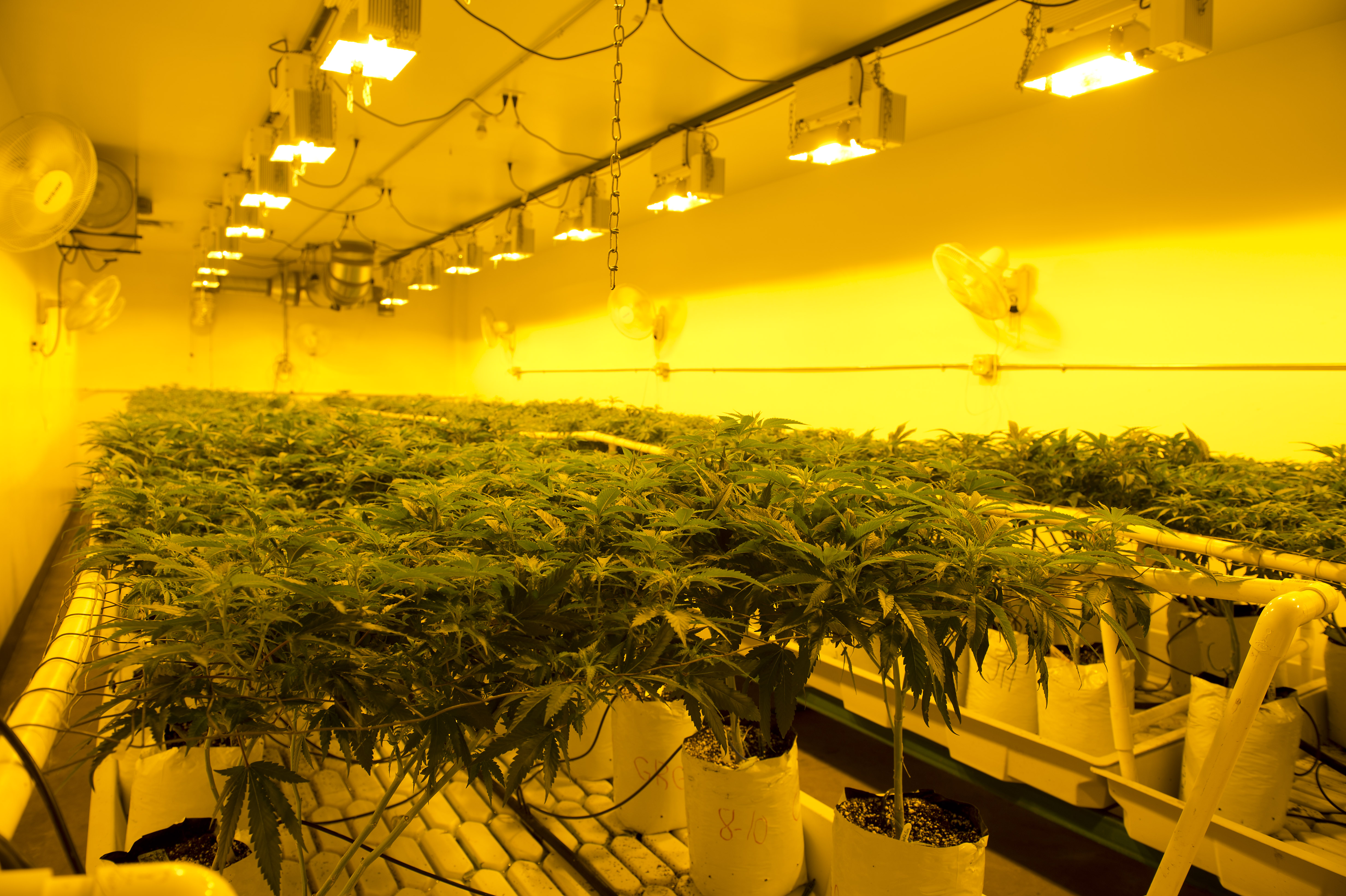 The yellow light of high-pressure sodium lamps mimics autumn light and helps in the cannabis-growing process inside Colorado Harvest Company's 10,000-square-foot facility in south Denver, photographed Sept. 16, 2016. Photo by Andy Colwell for Billy Penn